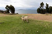 Sheep in the Uros Islands, Titikaka Lake, Peru, South America.