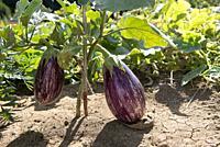 Eggplant (Solanum melongena), France.