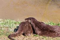 European Otter, Lutra Lutra, relaxing near a river. England, UK.