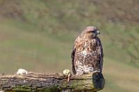 Adult Eurasian Common Buzzard, buteo buteo, perched on a log along with two dead mice.