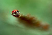 Lady bug or ladybird beetle (Coccinellidae) - (Extreme shallow depth-of-field) - North Carolina Arboretum, Asheville, North Carolina, USA.