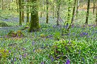 Bluebells in a Wood near Mullingar, County Westmeath, Eire.