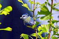 Bluetit with a caterpillar in its beak resting on the branch of a Ginko tree.