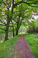 Forest trail at Kinnity, Slieve Bloom Mountains, County Offaly, Ireland.