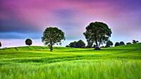 Barley field, Coolnahay, County Westmeath.