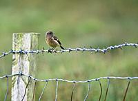 Brown bird sitting on a barbed wire fence, Ireland.