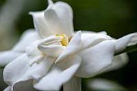 A close up of a gardenia flower.