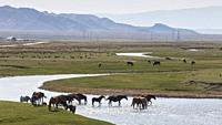 Horses crossing a river in Kazakhstan.