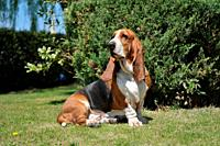 Basset Hound dog purebred seated on the grass.