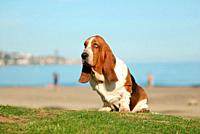 Basset Hound purebred dog seated on the grass near the sea.