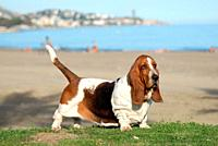 Basset Hound purebred dog near to the sea.