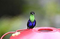 The amazing colors of a Fork-tailed woodnymph hummingbird (Thalurania furcata), Copalinga Lodge, Zamora, Ecuador.