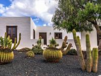 Cactus in Guatiza. Lanzarote. Canary Islands. Spain. Europe.