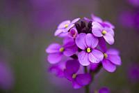 Close-up of Erysimum Bowles Mauve (Erysimum linifolium glaucum) flowers.