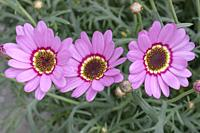 detail of three daisy violet flowers, shot at Andenes, Norway.