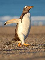 Walking to the colony. Gentoo Penguin (Pygoscelis papua) in the Falkland Islands. South America, Falkland, January.