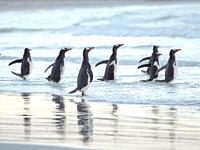 Walking to enter the sea during early morning. Gentoo Penguin (Pygoscelis papua) in the Falkland Islands. South America, Falkland, January.