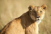 Lioness portrait (Panthera leo) Masai Mara National Reserve, Kenya.