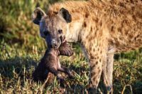 Spotted Hyena {Crocuta crocuta} mother carrying 2/3 weeks cub to the den. Masai Mara National Reserve, Kenya.