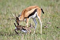 Thomson's gazelle (Eudorcas thomsoni) mother encourages newborn baby to take its first steps. Masai Mara National Reserve, Kenya.