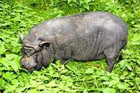 Vietnamese pot-bellied pig among nettles in Torup, Scania, Sweden.