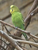 Colourful budgerigar (Melopsittacus undulatus), Ecuador.