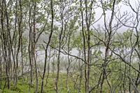 landscape with young birch tree wood on shore at mountain little lake in mist, shot in cloud at Aun lake, Hinnoya, Vesteralen, Norway.