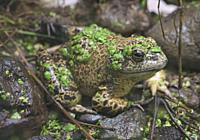 American bullfrog (Lithobates catesbeianus), Amaru Biopark, Cuenca, Ecuador.