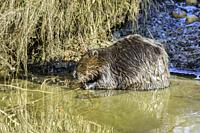 North American beaver, Castor canadensis, Burnaby Lake Regional Park, Burnaby, British Columbia, Canada.