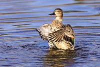 female Green winged teal, Anas crecca, Burnaby Lake Regional Park, Burnaby, British Columbia, Canada.