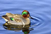male Green winged teal, Anas crecca, Burnaby Lake Regional Park, Burnaby, British Columbia, Canada.