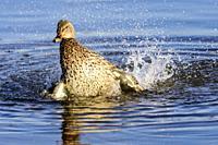 Female mallard, Anas platyrynchos, Burnaby Lake Regional Park, Burnaby, British Columbia, Canada.