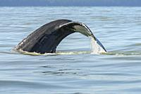 Humpback whale, Megaptera novaeangliae, Salish Sea, British Columbia, Canada, Pacific.