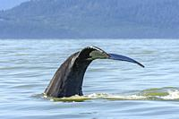 Humpback whale, Megaptera novaeangliae, Salish Sea, British Columbia, Canada, Pacific.