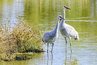 Lesser Sandhill Crane, Grus canadensis canadensisâ. Ž, also known as Antigone canadiensis canadiensis, George C. Reifel Migratory Bird Sanctuary, Delt...