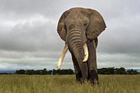 African elephant (Loxodonta africana) bull close by, standing on savanna, looking at camera, Amboseli national park, Kenya.