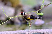 European goldfinch (Carduelis carduelis), La Rioja, Spain
