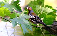 common chaffinch (Fringilla coelebs) La Rioja, Spain