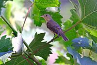 melodious warbler (Hippolais polyglotta) La Rioja, Spain