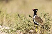 Northern Black Korhaan (Afrotis afraoides). Also called White-quilled Bustard. Male. Displaying. Kalahari Desert, Kgalagadi Transfrontier Park; South ...