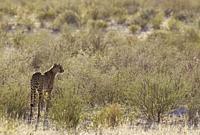 Cheetah (Acinonyx jubatus). Female. Kalahari Desert, Kgalagadi Transfrontier Park, South Africa.