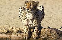 Cheetah (Acinonyx jubatus). Female. Drinking at a man-made waterhole. Kalahari Desert, Kgalagadi Transfrontier Park, South Africa.