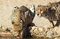 Cheetah (Acinonyx jubatus). Two females. Drinking at a man-made waterhole. Kalahari Desert, Kgalagadi Transfrontier Park, South Africa.