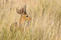 Steenbok (Raphicerus campestris). Male. Kalahari Desert, Kgalagadi Transfrontier Park, South Africa.