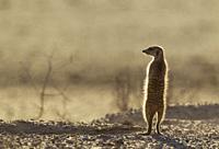 Suricate (Suricata suricatta). Also called Meerkat. Guard on the lookout. Kalahari Desert, Kgalagadi Transfrontier Park, South Africa.