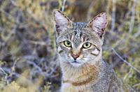African Wild Cat (Felis silvestris lybica). Kalahari Desert, Kgalagadi Transfrontier Park, South Africa.