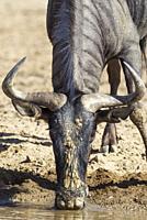 Blue Wildebeest (Connochaetes taurinus). Drinking at a waterhole. Kalahari Desert, Kgalagadi Transfrontier Park, South Africa.