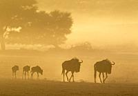 Blue Wildebeest (Connochaetes taurinus). Roaming with calves in the early morning. Behind camelthorn trees (Acacia erioloba). Kalahari Desert, Kgalaga...
