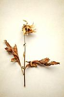 DRied Flower Stem and Leaves.