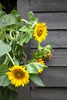 Sunflowers Against Shed.